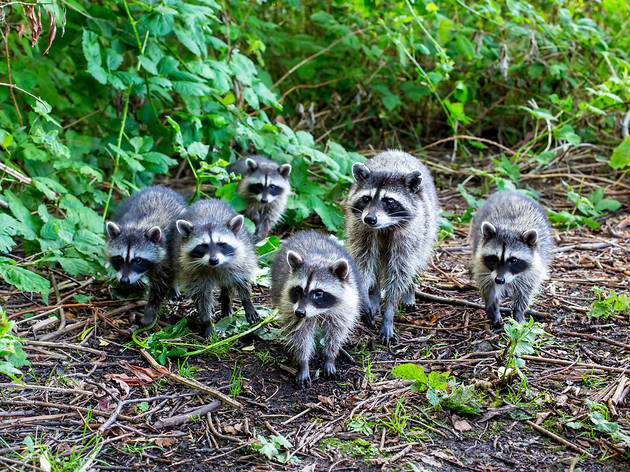 22 raccoons spotted hanging out in Central Park