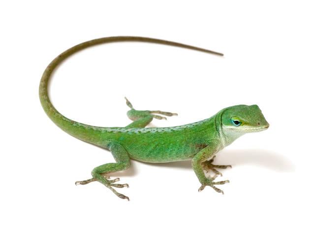 Reptiles para niños anolis