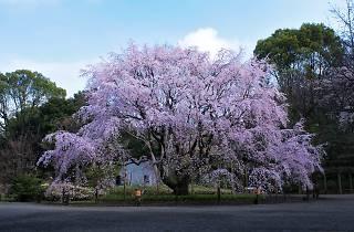 六義園 しだれ桜と大名庭園のライトアップ