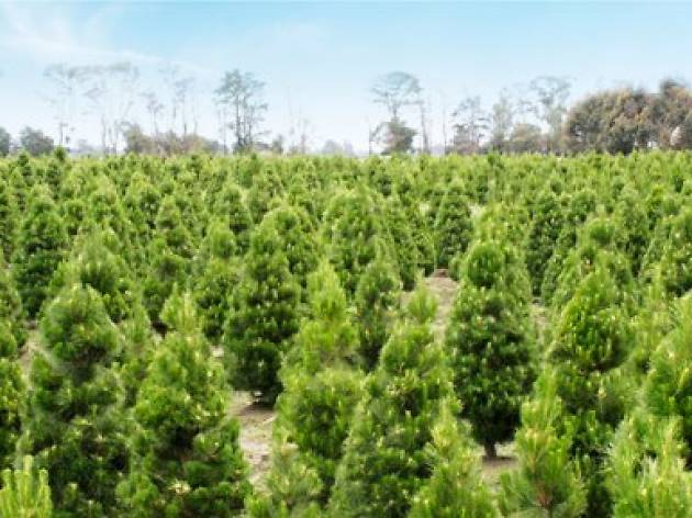 Where To Buy Real Christmas Trees In Melbourne