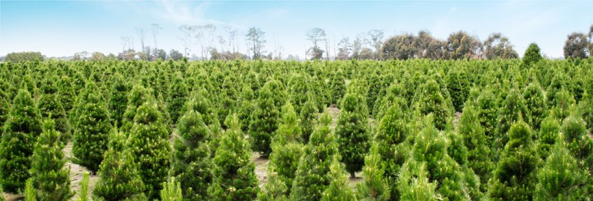 Dandenong Christmas Tree Farm