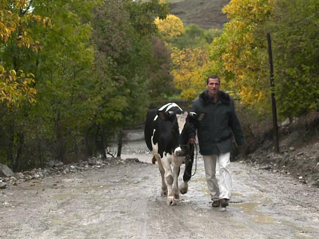 Holy Cow (La Vaca)