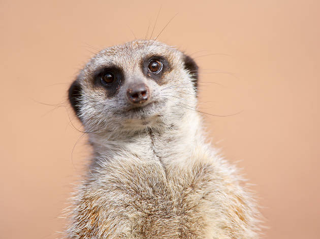 A meerkat at the Melbourne Zoo