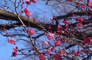 都立神代植物公園 梅まつり