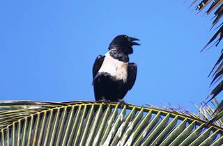 Pied Crow (Dayo Osinubi)