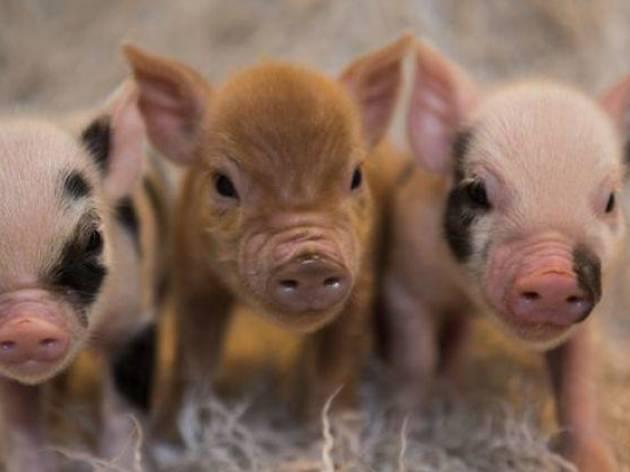 Convivencia con mini pigs