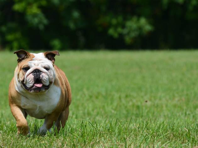 Caminata bulldog