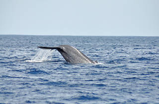 whale watching at Mirissa