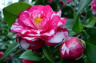 Camellia & Tea Festival