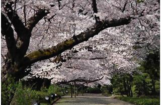 神代植物公園 椿・さくらまつり