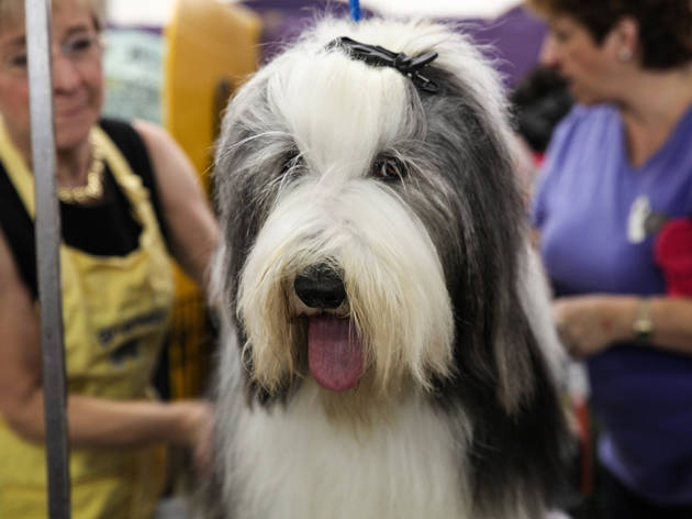 18 photos of dogs getting pretty AF before the Westminster Dog Show