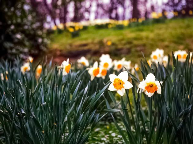 Daffodil Celebrate and Wine Weekend