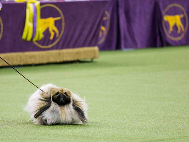 28 adorable photos from the Westminster Dog Show competition