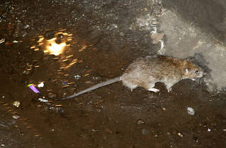 A rare deadly disease linked to rats has appeared in the Bronx