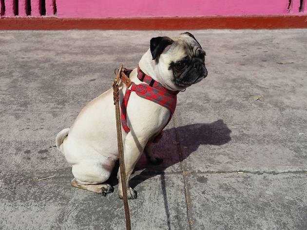 Reunión de perros pug