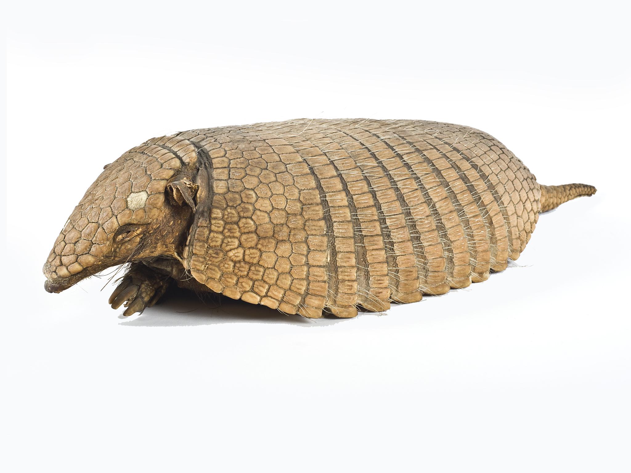 Tatu-canastra, Priodontes maximus