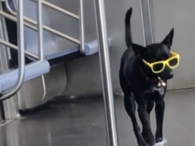 Check out the world's coolest dog strolling around a train in Queens