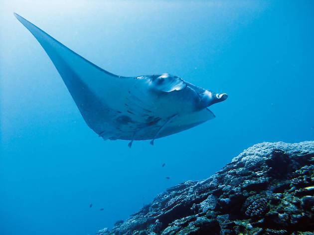Swim with manta rays...