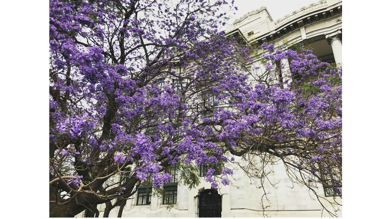 Las mejores fotografías de jacarandas en Instagram
