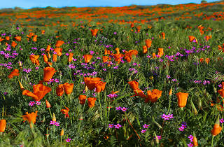 The poppies are blooming in Antelope Valley