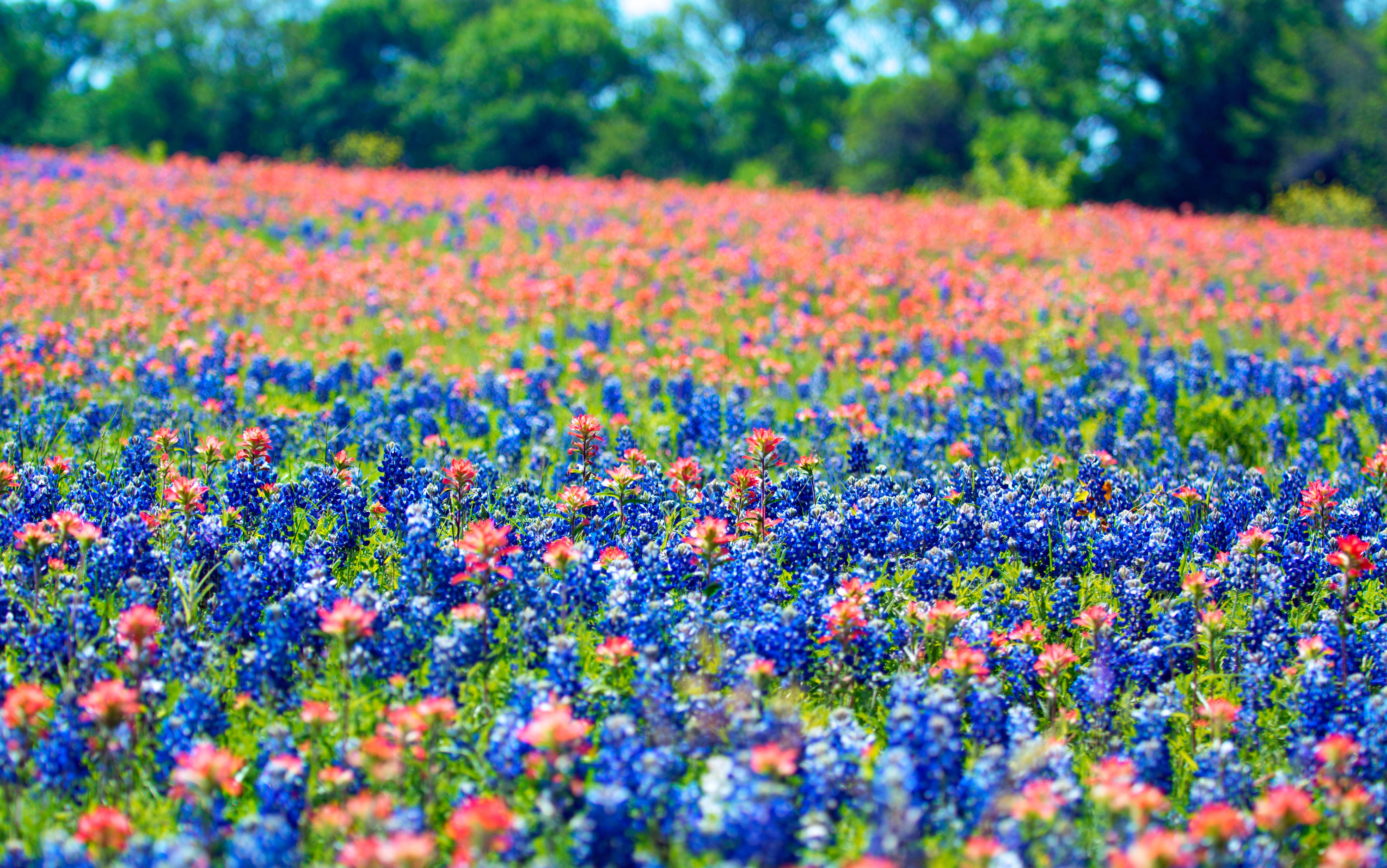 Bluebonnets, Texas' vibrant state flower, are out in full swing in Austin
