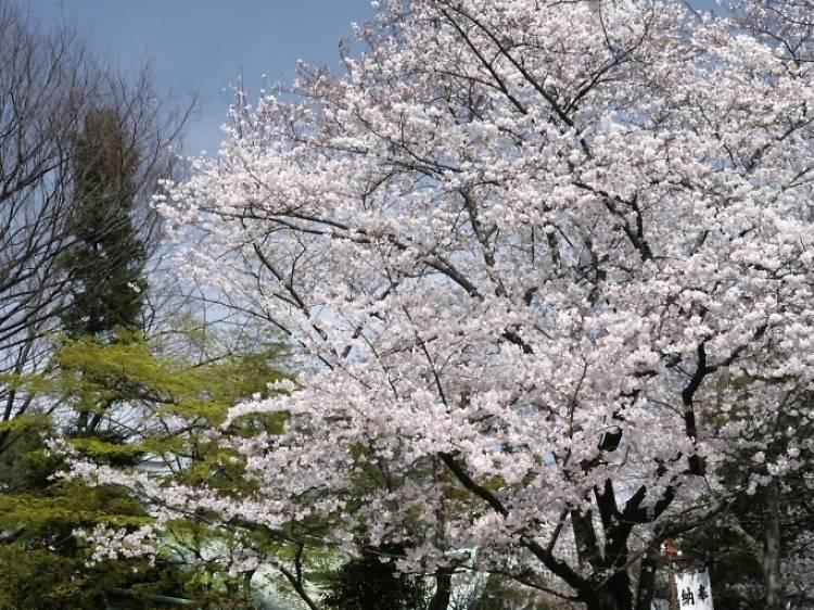 良縁は満開の桜と願う。