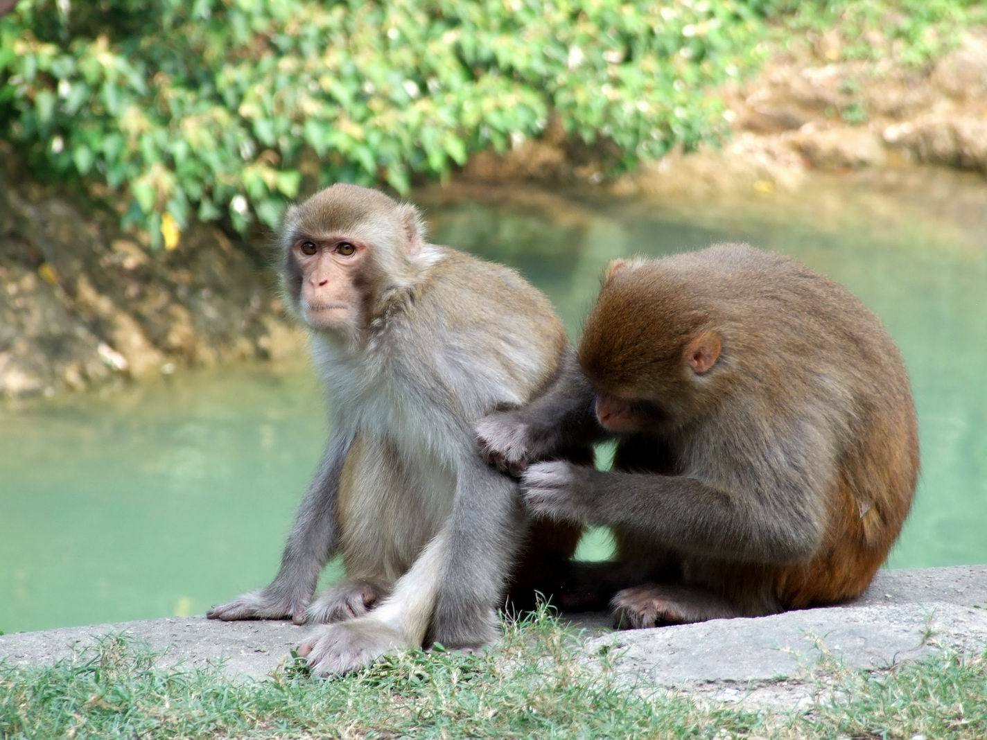 Kam Shan Country Park, macaques