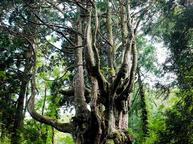 43 Iwakura Chichisugi Cedar Tree