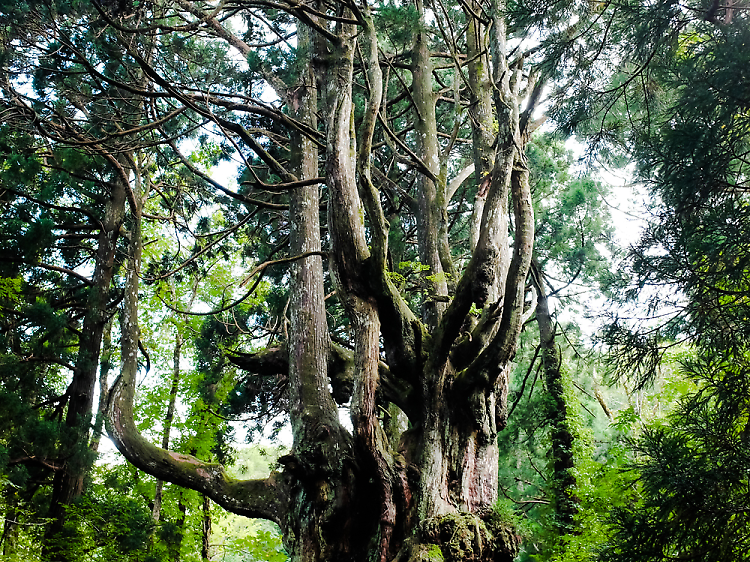 Greet an ancient tree...