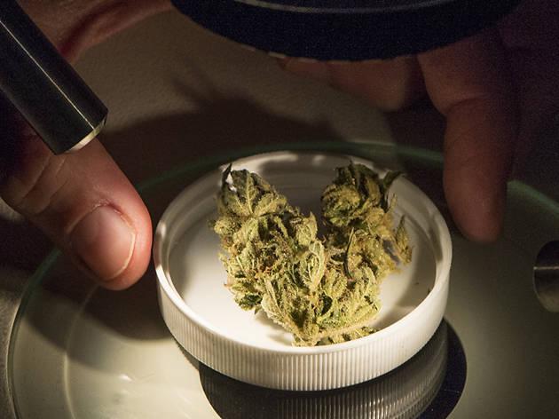 Exploratorium After Dark: Cannabis