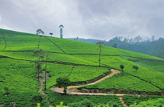 A neatly groomed tea plantation