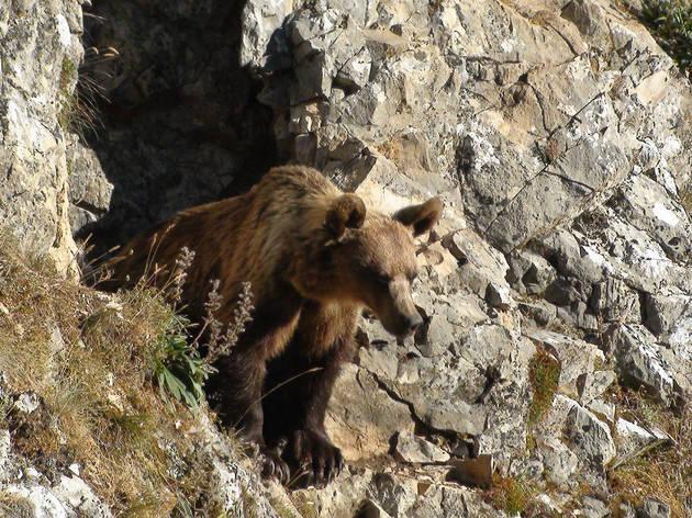 Cantábrico, los dominios del oso pardo