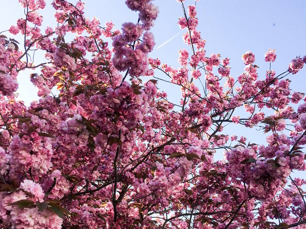 12 places to spot cherry blossom in London