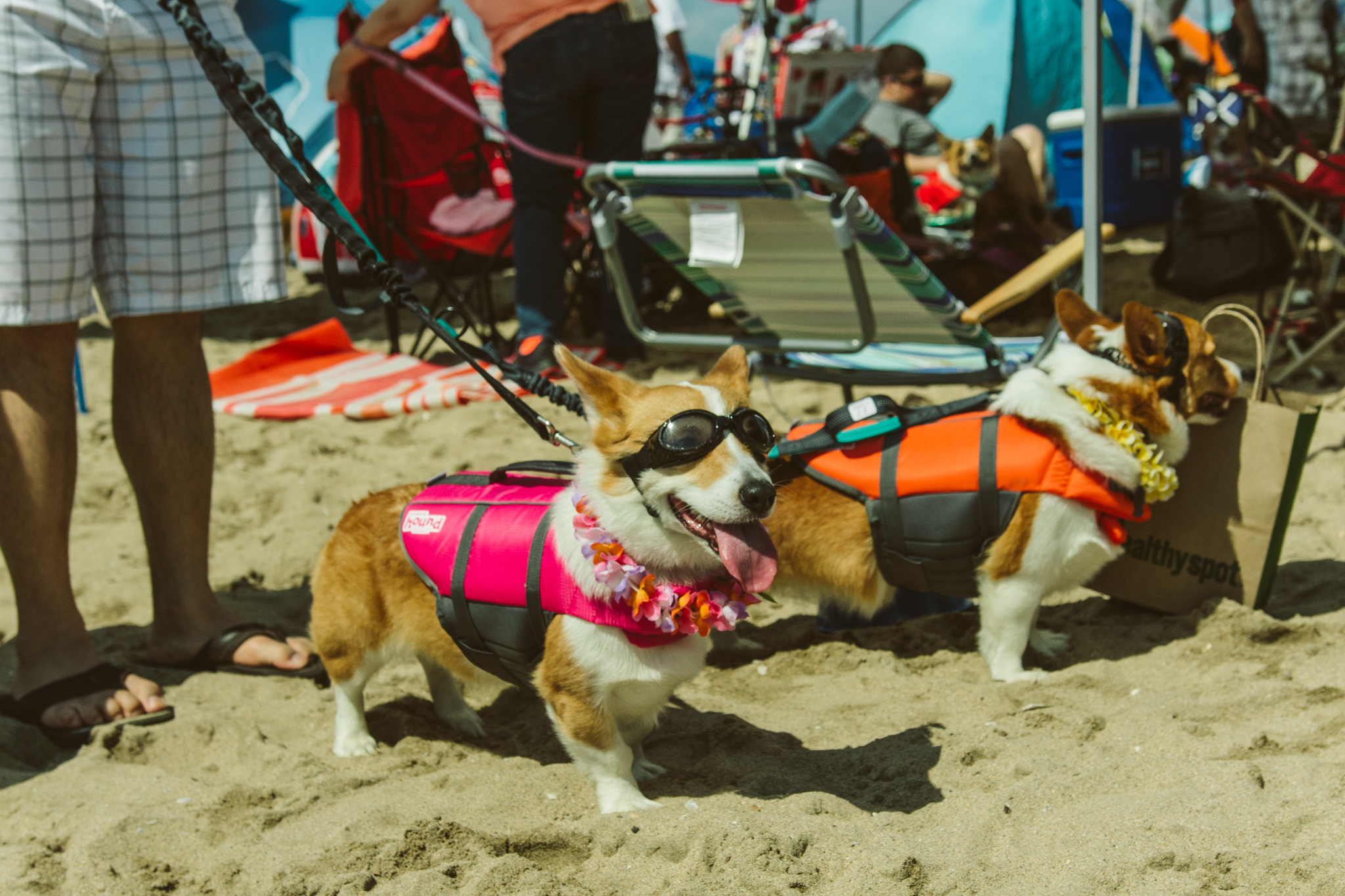 The dogs were out at Huntington Beach for So Cal Corgi Beach Day