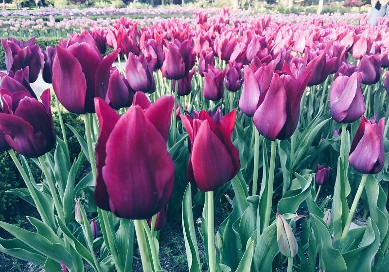 Tulipanes el Real Jardín Botánico