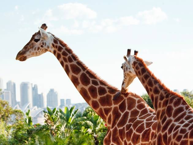 Roar and Snore Experience at Taronga Zoo