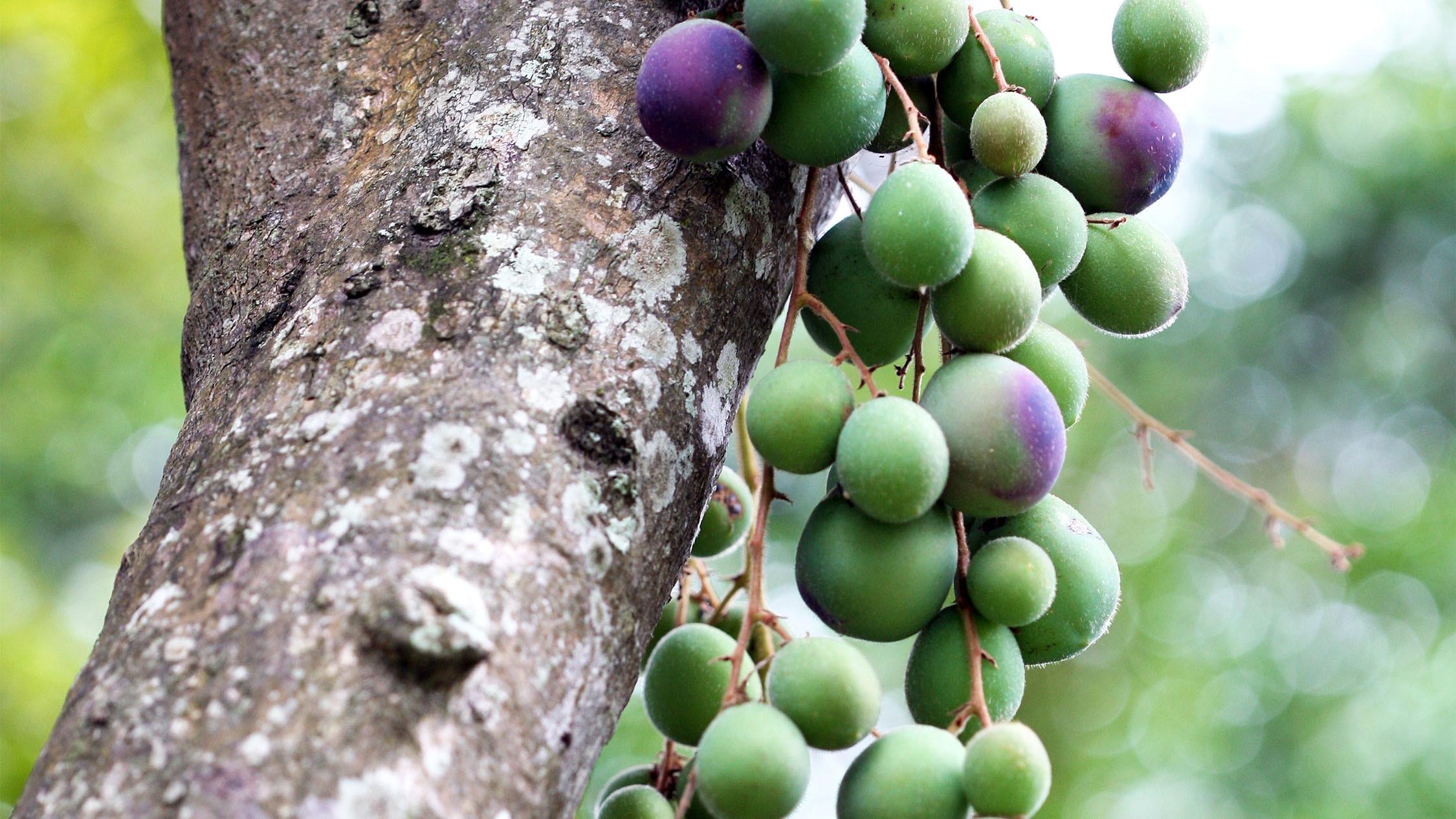 Davidson plum