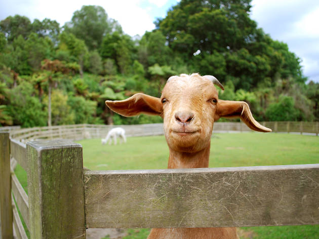 A herd of goats is coming back to Prospect Park next month