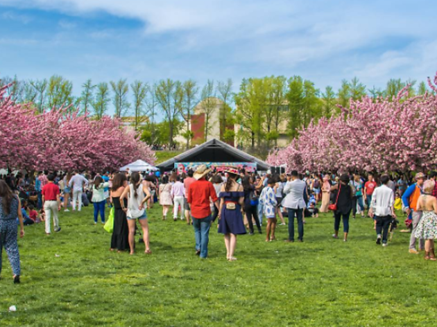 See photos from this weekend's glorious cherry blossom festival at the Brooklyn Botanic Garden