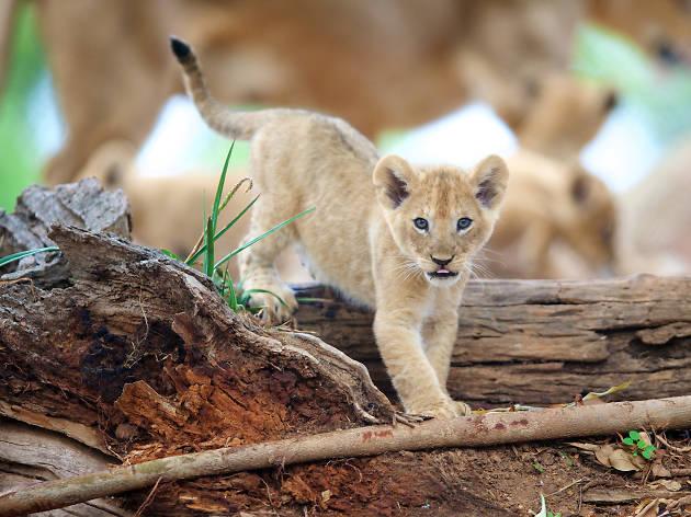 Meet the lion cubs