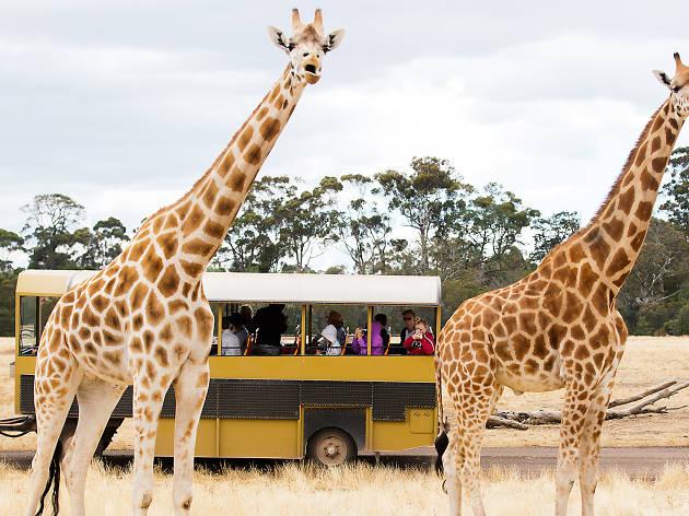 Cropped giraffes on safari tour at Werribee Open Range Zoo
