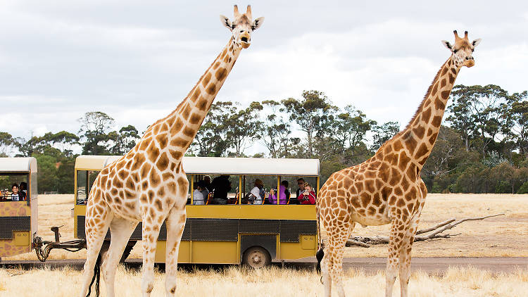 Cropped giraffes on safari tour at Werribee Open Range Zoo