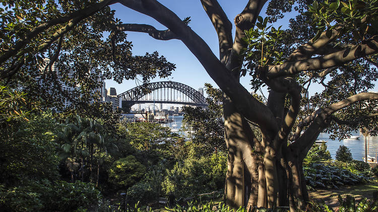 A fig tree and lush greenery stretches out in front of the Sydney Harbour Bridge