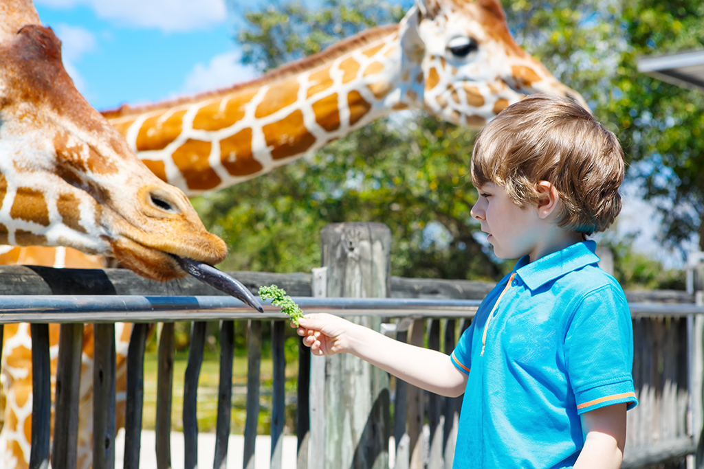 Little kid boy watching and feeding giraffe in zoo