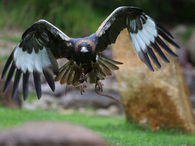 Eagle at Spirits of the Sky at Healesville Sanctuary