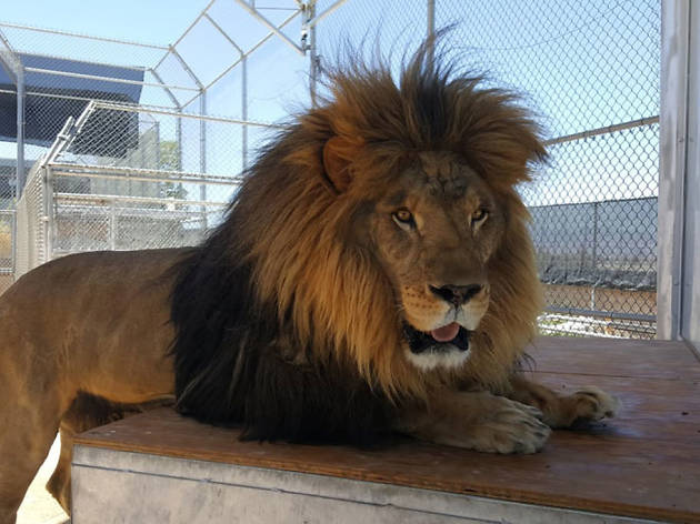 Lion Habitat Ranch | Things to do in Henderson, Las Vegas