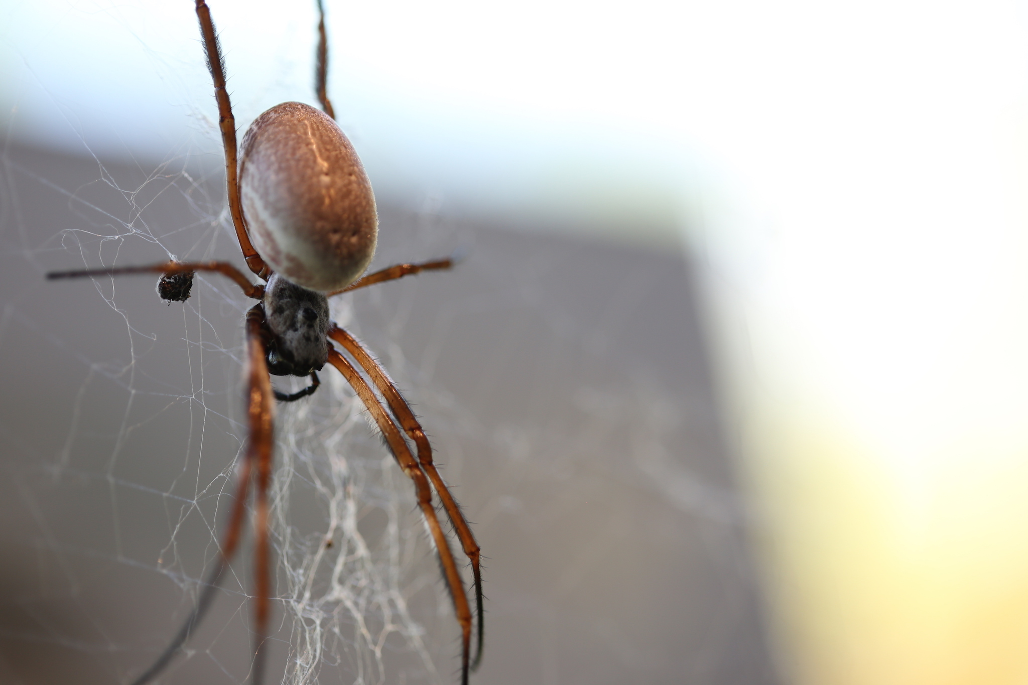Golden Orb Spider, ZSL, London Zoo