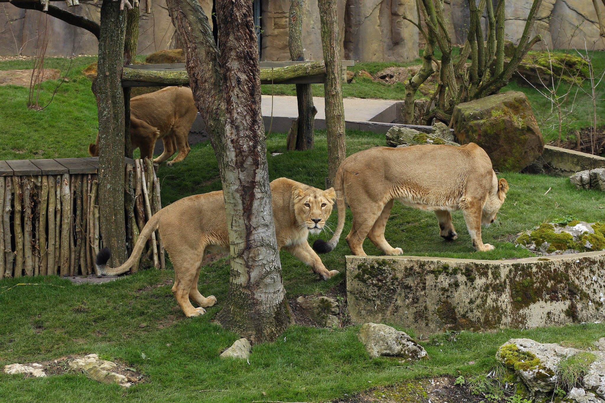 Asiatic Lionesses at ZSL London Zoo