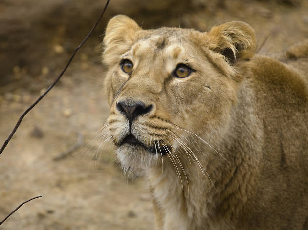 Heidi the Asiatic Lioness at ZSL London Zoo