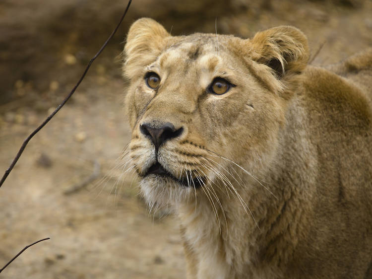 Have a sleepover with the lions at London Zoo